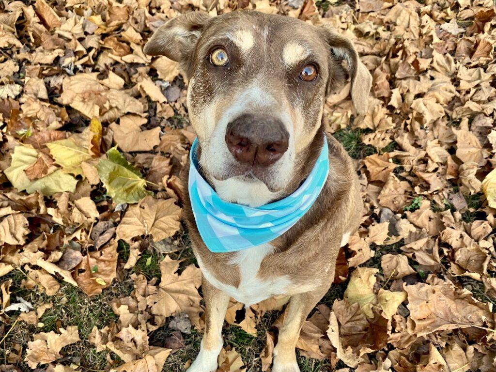 dog bandana with blue and white plaid pattern