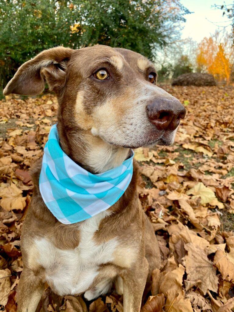 dog bandana closeup on dog sitting on ground in leaves