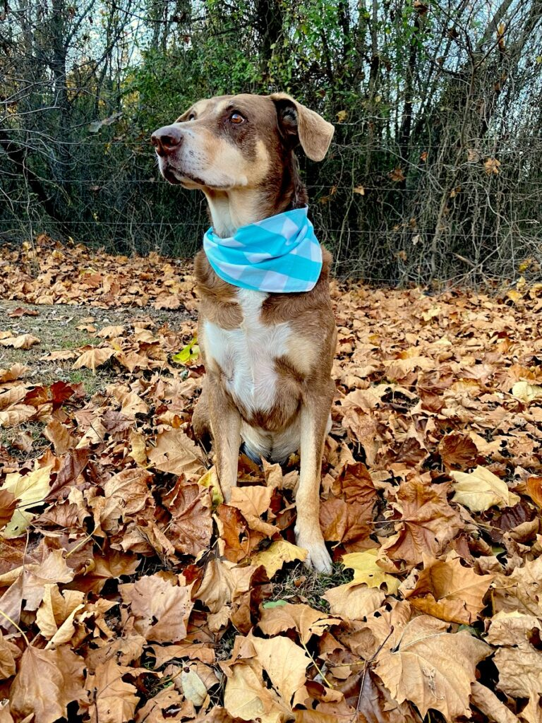 dog bandana with blue and white plaid pattern on dog sitting in leaves